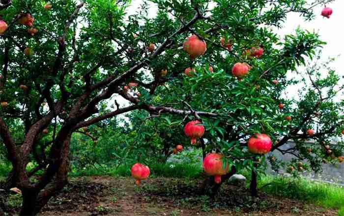 تغذیه انار و توصیه کودی باغات انار ( قسمت اول )