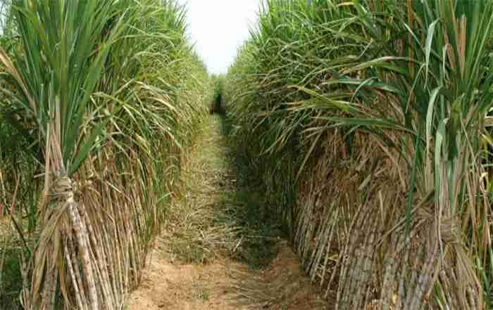 مصرف بهینه کود در مزارع نیشکر