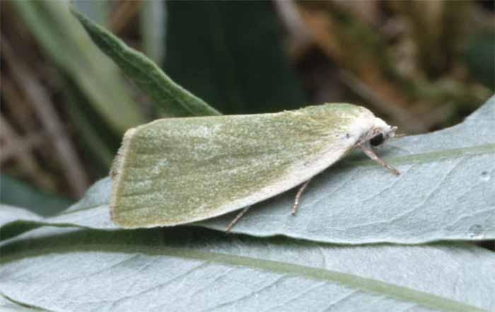 لیسه بید , Yponomeuta rorellus