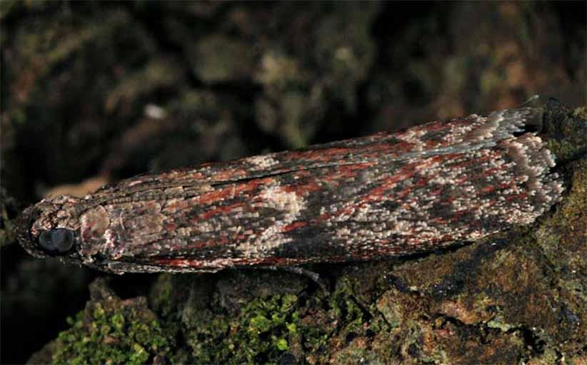 آفت پروانه مرکبات ( Cryptoblabes gnidiella )
