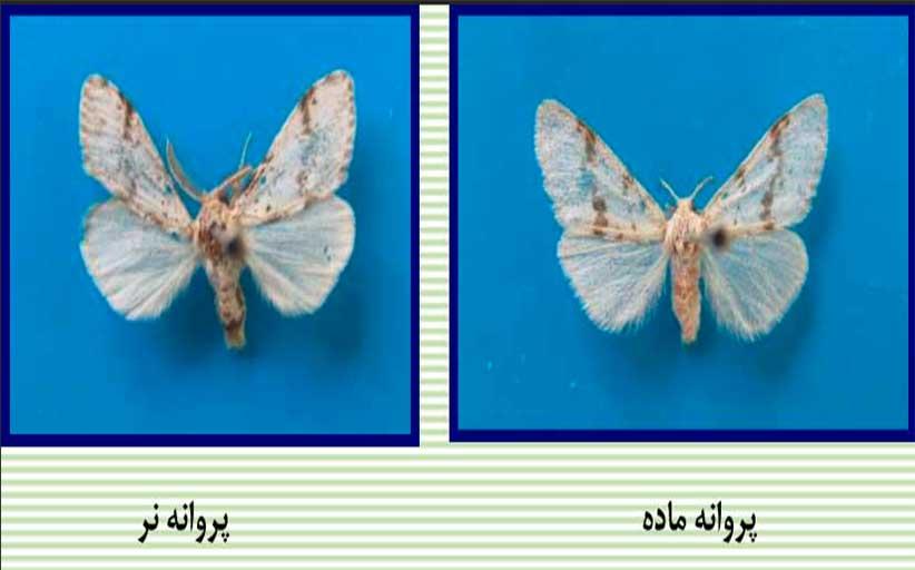 پروانه برگخوار بنه ( Ocneria terebinthina )