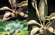 سفیدک پودری سیب , Podosphaera leucotricha