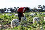 تغذیه پیاز و توصیه کودی مزارع پیاز
