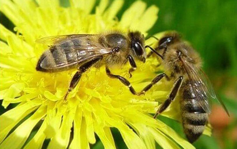 مهمترین نژادهای زنبور عسل