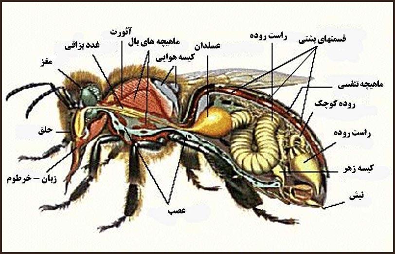 تشریح ساختمان بدن زنبور عسل