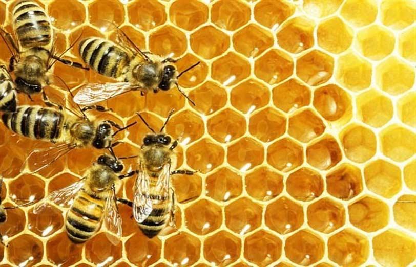 ساکنین کندو زنبور عسل و خصوصیات ملکه
