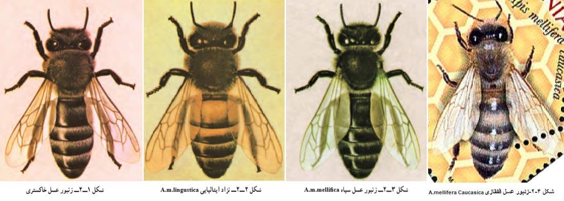 A.mellifera Caucasica-Apis mellifera lingustica-Apis mellifera mellifica-Apis mellifera Carnica