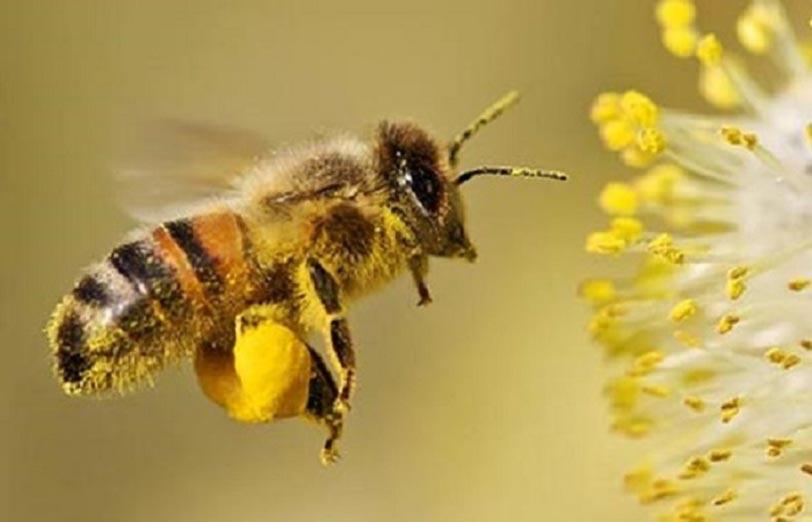 منابع تغذیه زنبور عسل