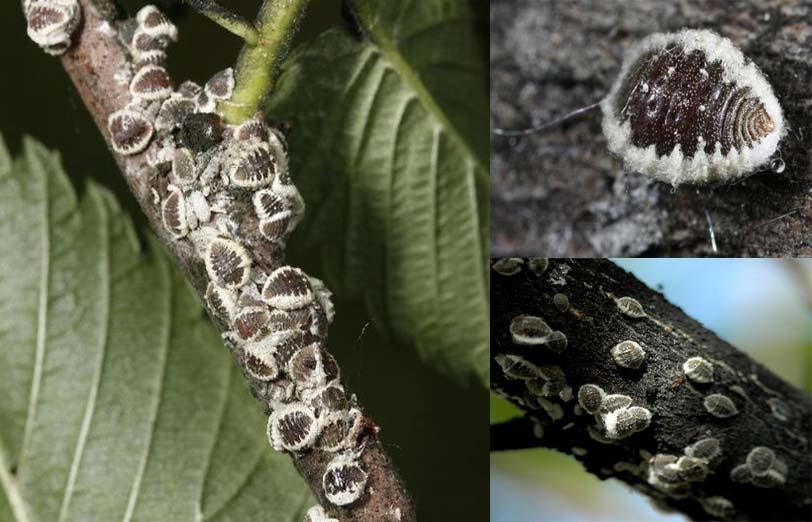 شپشک خونی نارون ( Gossyparia spuria )