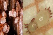 کنه بنه زعفران ( Rhizoglyphus robini )