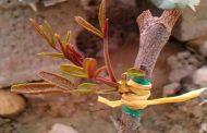 اهمیت انتخاب پایه مناسب درختان پسته