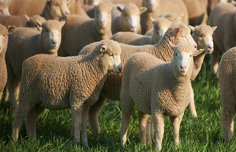 اصول صحیح پرواربندی گوسفند