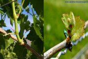 ناهنجاری مرگ جوانه انگور در تاکستان