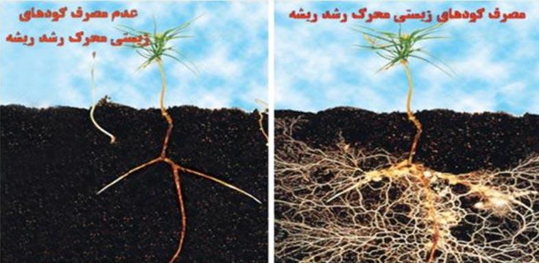 نتیجه تیمار گیاه با کودهای زیستی محرک ریشه