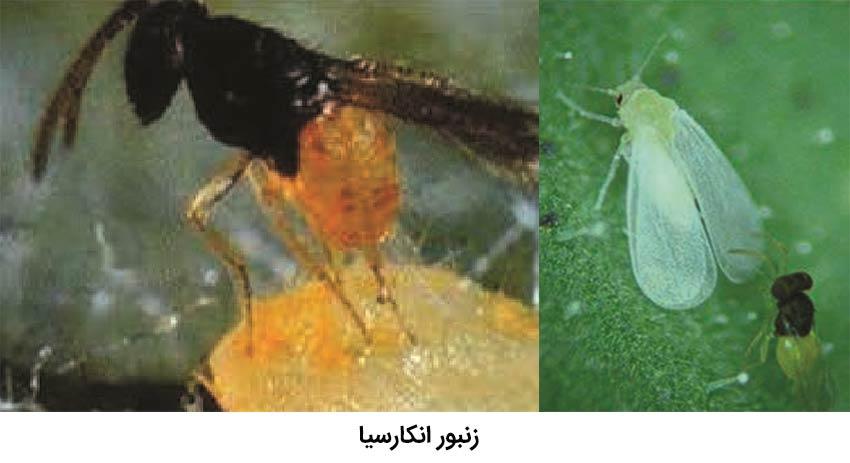 زنبور انکارسیا پارازیت کننده Trialeurodes vaporariorum