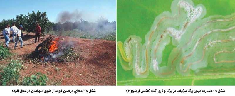 امحای درختان آلوده به شانکر مرکبات از طریق سوزاندن در محل آلوده و خسارت مینوز برگ مرکبات در برگ و لارو آفت