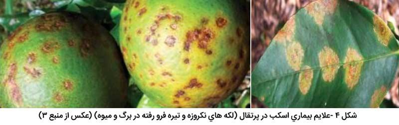 تشابه علایم بیماری اسکب در پرتقال (لکه های نکروزه و تیره فرو رفته در برگ و میوه) با بیماری شانکر مرکبات