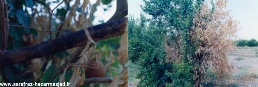 سرخشکیدگی شاخه های پرتقال و جدا شدن پوست و نمایان شدن توده سیاه زیر آن به دلیل بیماری سرخشکیدگی مرکبات