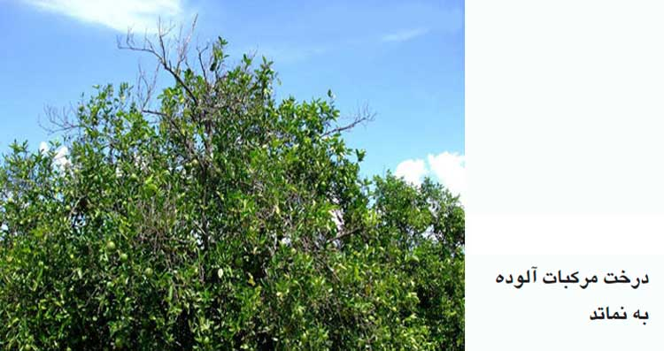 درخت آلوده به نماتد مرکبات (Tylenchulus semipenetrans Cobb)