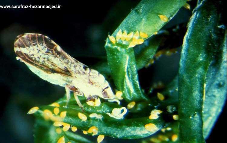 زنجرک ناقل بیماری استابورن مرکبات (stubborn citrus)