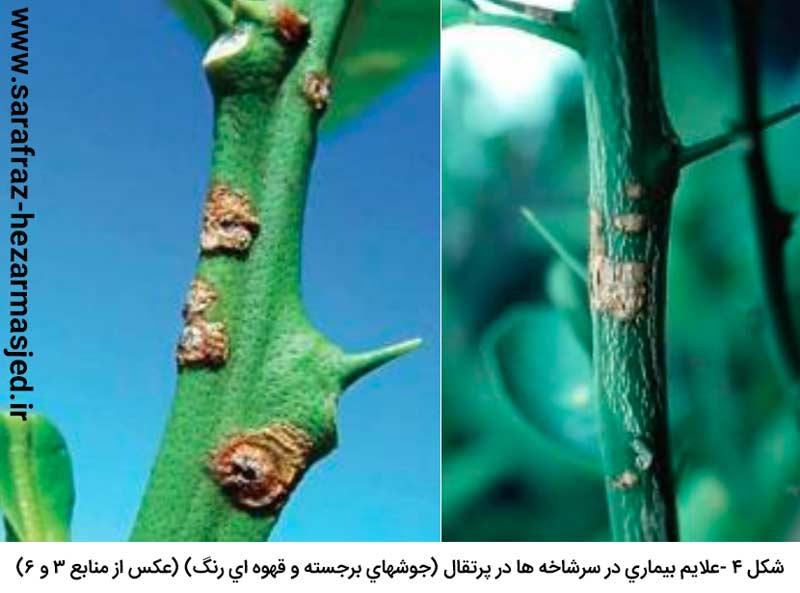 علایم بیماری شانکر باکتریایی مرکبات در سرشاخه ها در پرتقال (جوش های برجسته و قهوه ای رنگ)