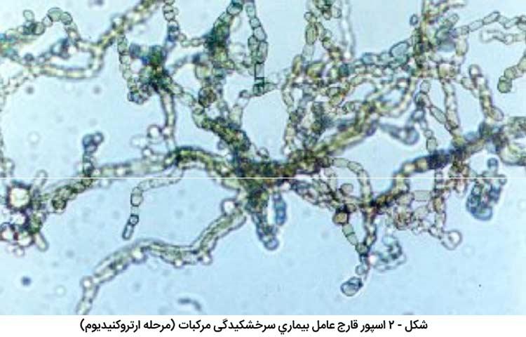 اسپور قارچ عامل بیماری سرخشکیدگی مرکبات