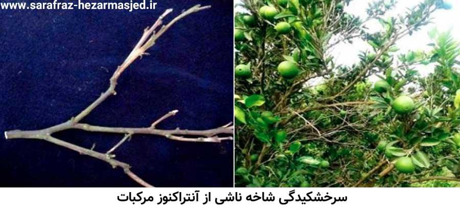 علایم سرخشکیدگی شاخه های درخت مرکبات آلوده به بیماری آنتراکنوز مرکبات