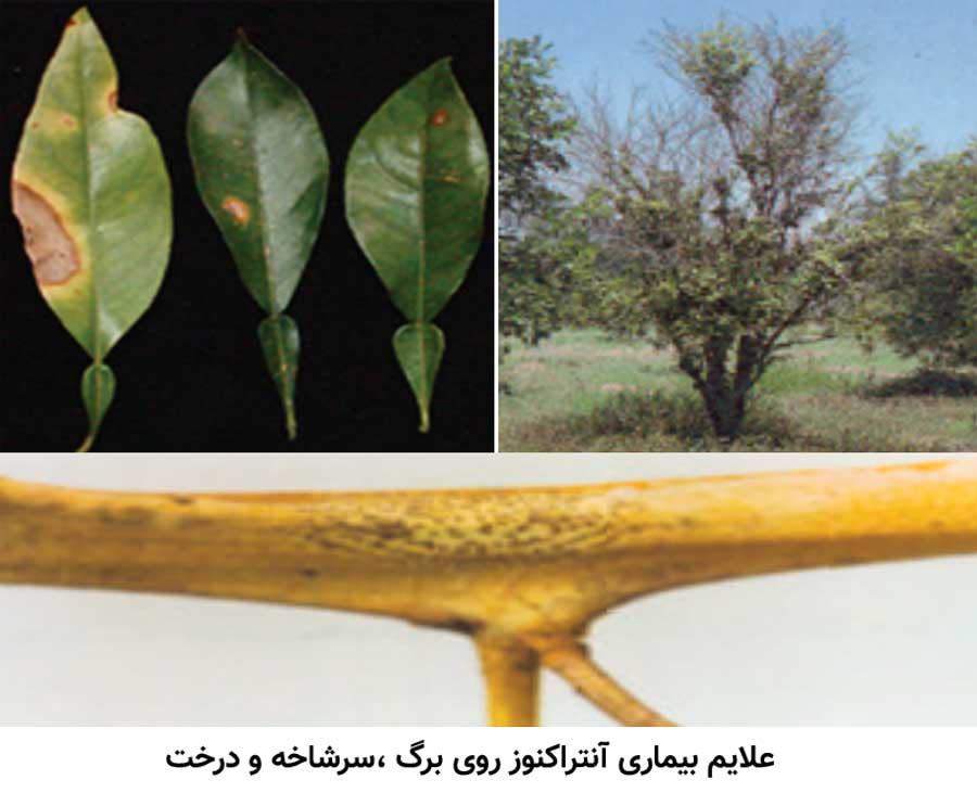 علایم بیماری آنتراکنوز مرکبات روی سرشاخه ، درخت و برگ مرکبات
