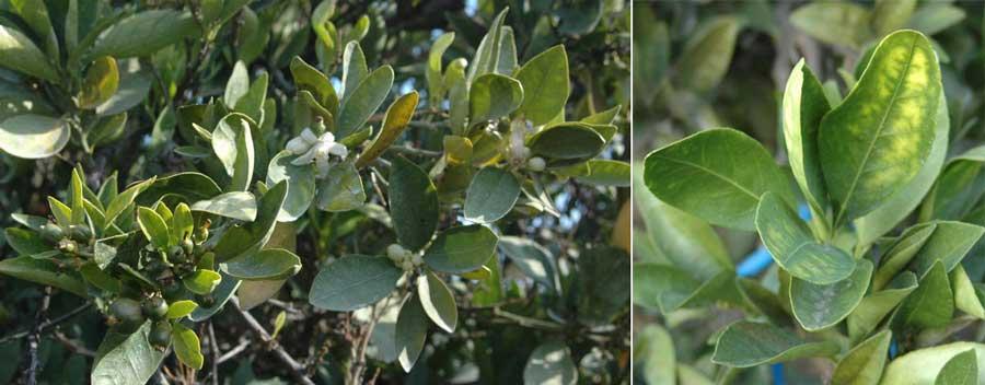 علایم بیماری stubborn citrus روی برگ مرکبات