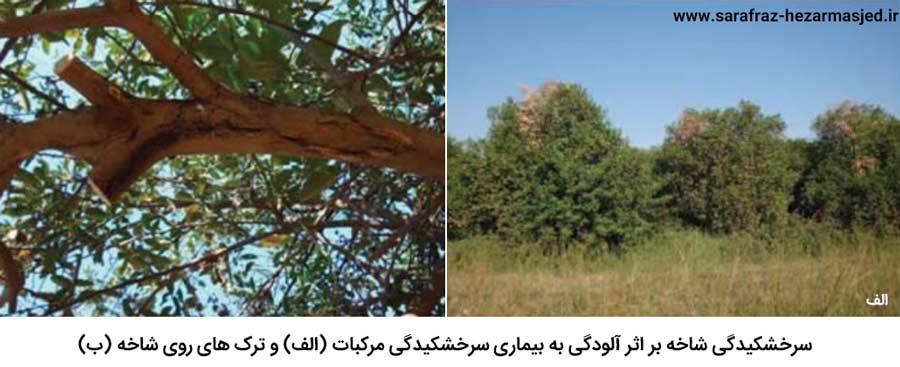 سرخشکیدگی و ترک های روی شاخه در اثر ابتلا درختان مرکبات به بیماری سرخشکیدگی مرکبات