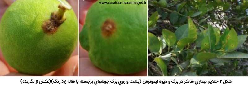 علایم بیماری شانکر مرکبات در برگ و میوه لیموترش (پشت و روی برگ جوش های برجسته با هاله زرد رنگ)