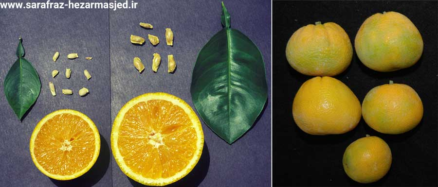 آثار ابتلا مرکبات به بیماری استابورن مرکبات (stubborn citrus) یا ریز برگی مرکبات و تاثیر آن روی میوه و بذر مرکبات