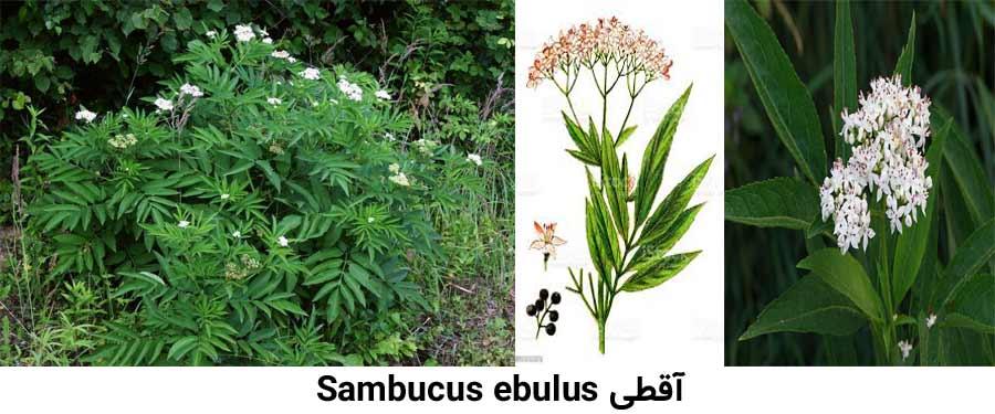 علف هرز آقطی Sambucus ebulus از علفهای هرز مرکبات
