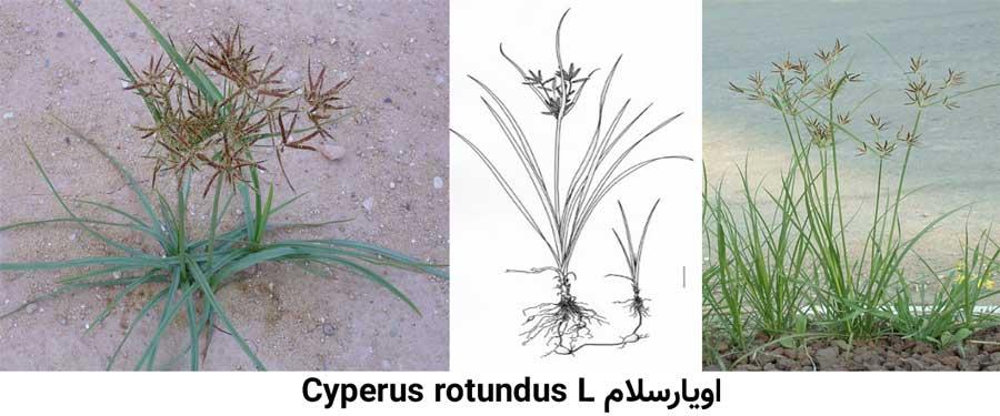علف هرز اویارسلام .Cyperus rotundus L