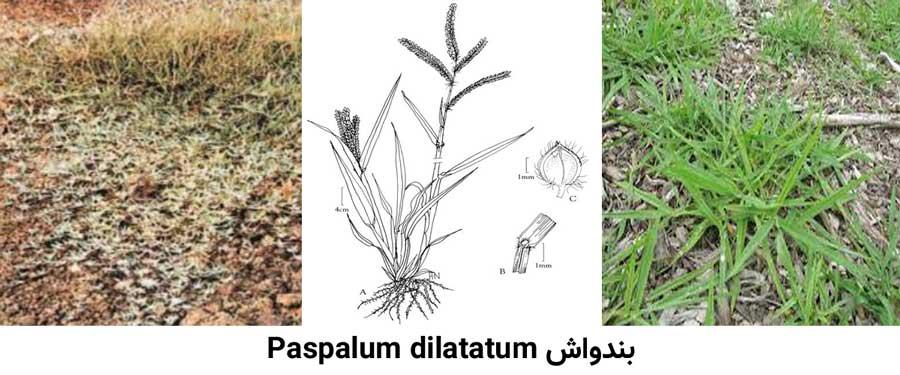 بندواش Paspalum dilatatum از علفهای هرز مرکبات شایع در باغات