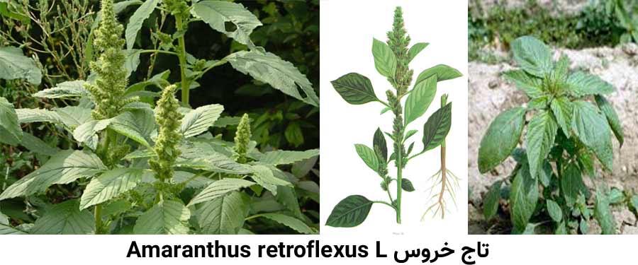 تاج خروس .Amaranthus retroflexus L از علفهای هرز مرکبات شایع در باغات