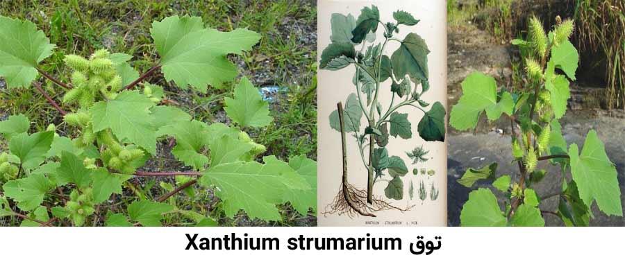 علف هرز توق Xanthium strumarium از علفهای هرز مرکبات