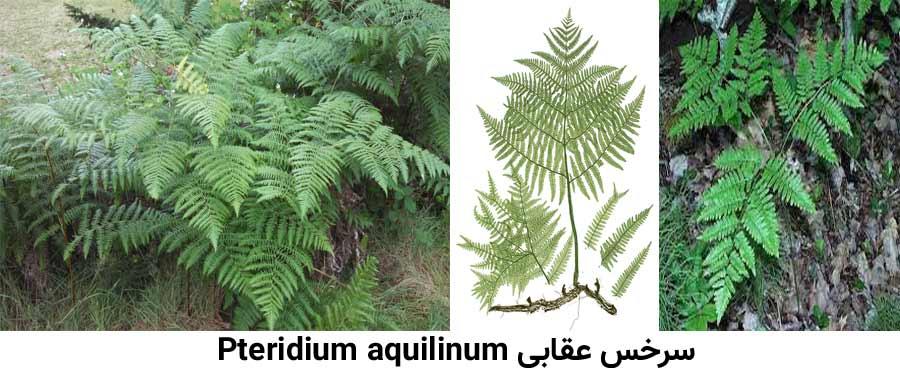 مشخصات گیاه شناسی علف هرز سرخس عقابی Pteridium aquilinum
