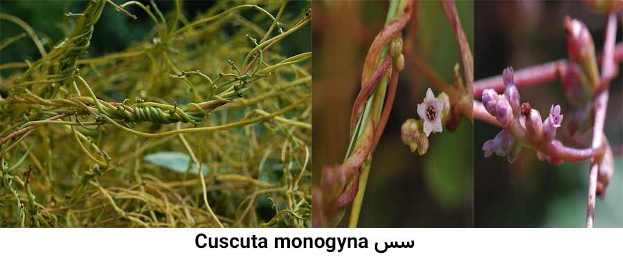 مشخصات گیاهشناسی علف هرز سس Cuscuta monogyna از شایعرین علفهای هرز مرکبات