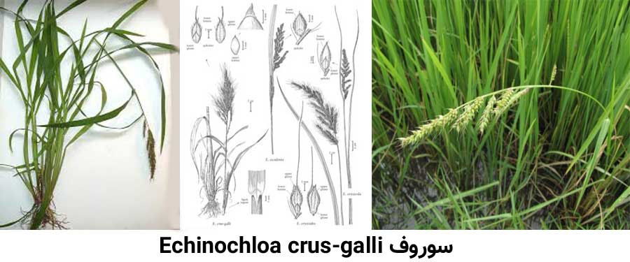 علف هرز سوروف Echinochloa crus-galli