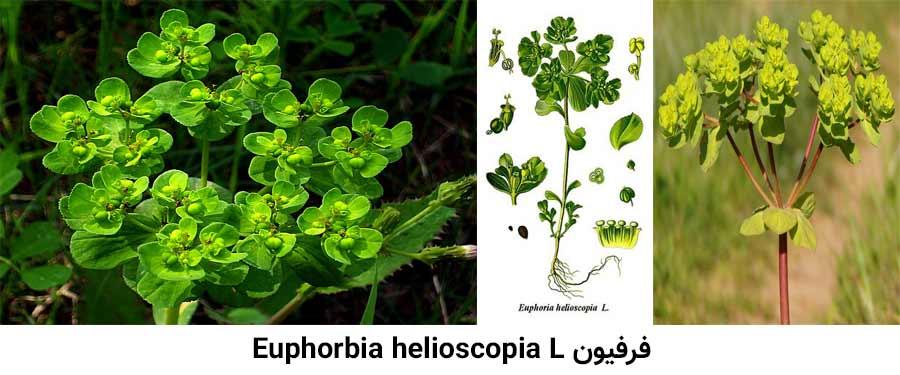 مشخصات گیاهشناسی علف هرز فرفیون . Euphorbia helioscopia L