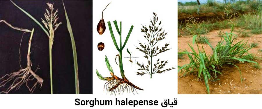 از شایعترین علفهای هرز مرکبات علف هرز قیاق Sorghum halepense می باشد