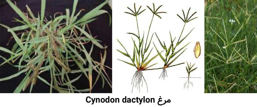 مشخصات گیاهشناسی علف هرز مرغ Cynodon dactylon