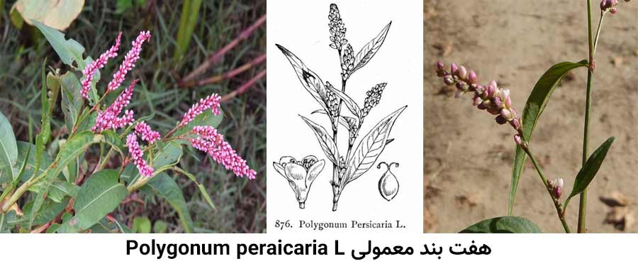 مشخصات گیاهشناسی علف هرز هفت بند معمولی .Polygonum peraicaria L