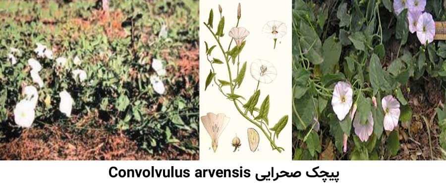 مشخصات علف هرز پیچک صحرایی Convolvulus arvensis