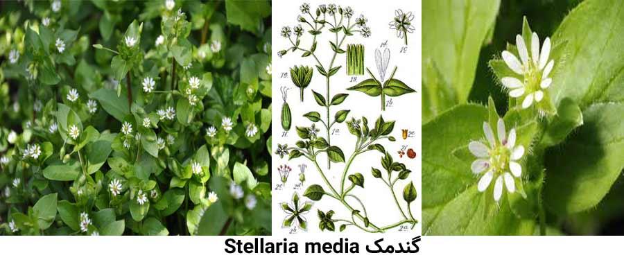 یکی از شایع ترین علفهای هرز مرکبات گندمک Stellaria media می باشد