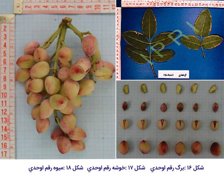شکل برگ ، خوشه و میوه در پسته رقم اوحدی که یکی از مهم ترین ارقام پسته ایران می باشد.
