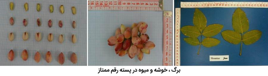 برگ ، میوه و خوشه پسته رقم ممتاز از مهم ترین ارقام پسته ایران