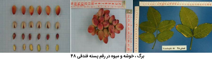 شکل برگ ، میوه و خوشه پسته رقم فندقی 48 که از مهم ترین ارقام پسته ایران میباشد