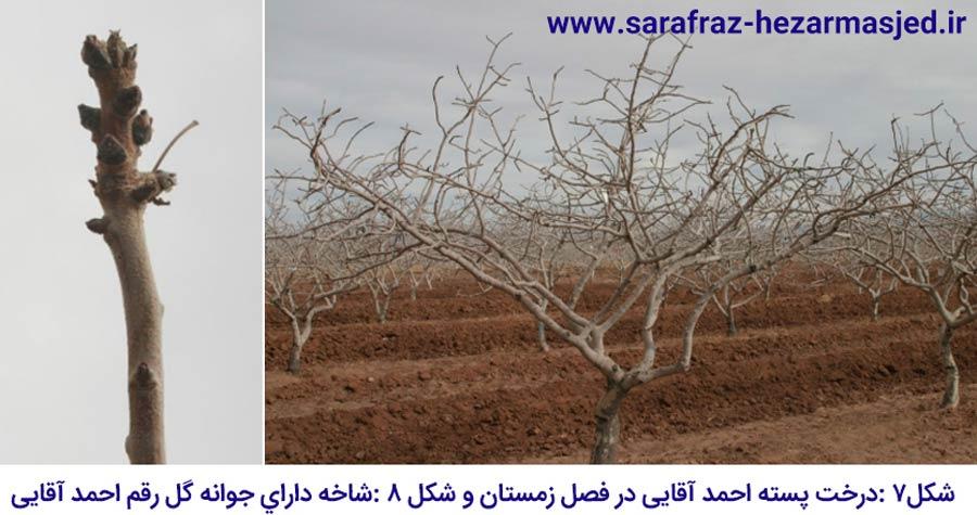 شکل درخت و جوانه گل در رقم پسته احمد آقایی که یکی از مهم ترین ارقام پسته ایران می باشد